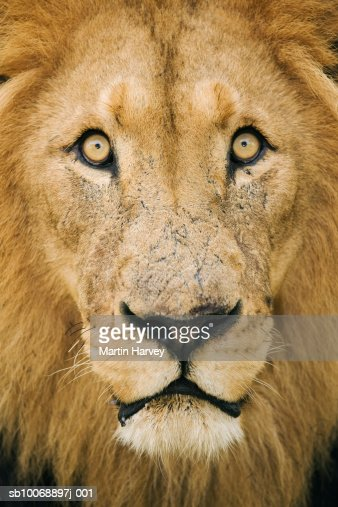 Male lion (Panthera leo), close-up : Stock Photo