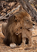 Male lion with his cub in Kruger South Africa.