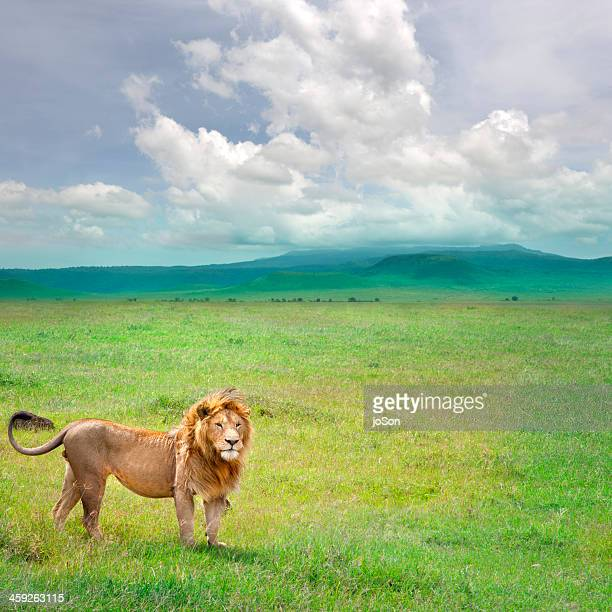 Male lion (Panthera leo) in Ngorongoro Crater