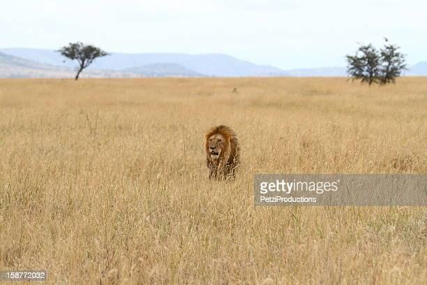 Male Lion in Savanna