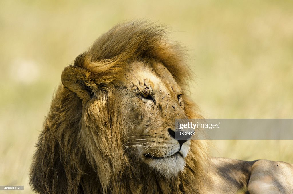 Male Lion in Tanzania, Africa : Stock Photo