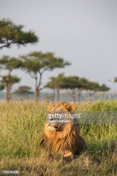 Male Lion in the Masai Mara Kenia