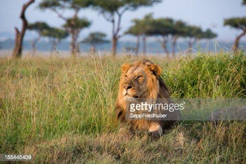 Male Lion in the Masai Mara Kenia