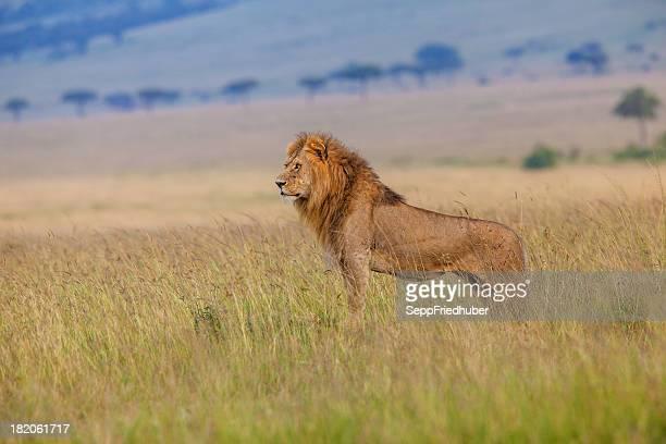 Male lion in the savanna Masai Mara Kenia