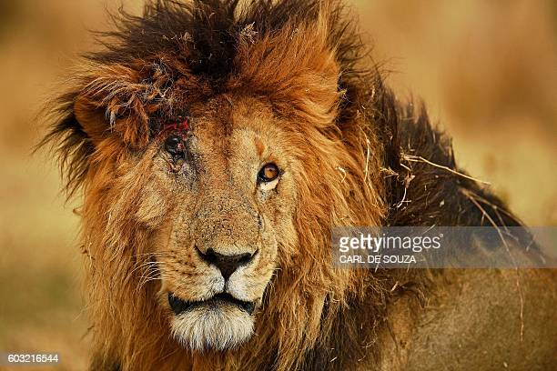 TOPSHOT A male lion injured from a fight with another male during the annual wildebeest migration in the Masai Mara game reserve is seen on September...