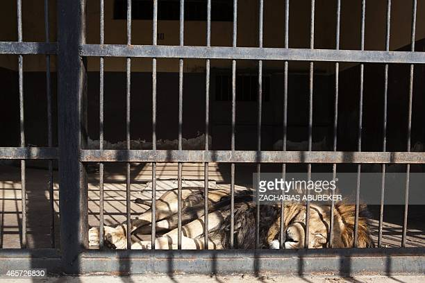LEBHOUR A male lion is pictured in a cage in the Lion zoo of Addis Ababa on February 20 2015 There are 7 males and 7 females living in the zoo which...