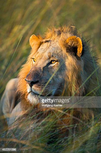 Male lion laying in grass at the Linyanti Reserve near the Savuti Channel in northern part of Botswana
