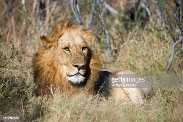 A male lion laying in the grass at the Linyanti Reserve near the Savuti Channel in northern part of Botswana