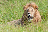 male lion with open mouth looking through the high savannah grass - national park masai mara in kenya