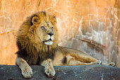 Large, powerful male lion sitting on a tall boulder at sunset. This male Lion was photographed at a local zoo at closing time near sunset. Closing means feeding time for many of the animals. This lion