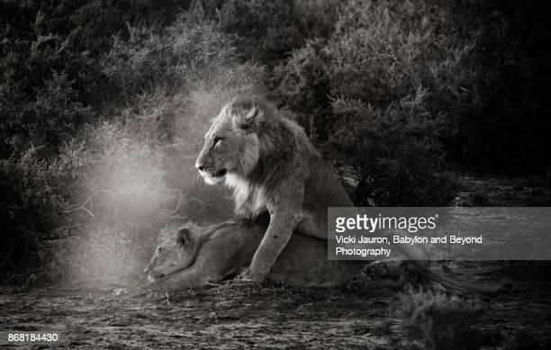 Male Lion Mating with Lioness in Dramatic Lighting in Samburu, Kenya