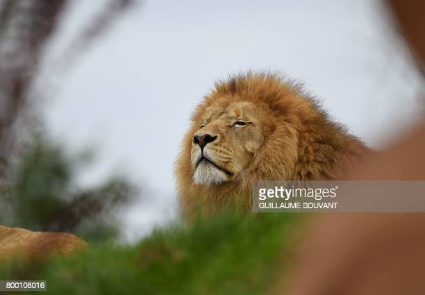 A male lion named Krugger looks on inside the new enclosure 'La Terre des Lions' at the Zooparc of Beauval / AFP PHOTO / GUILLAUME SOUVANT