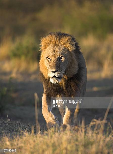 Male lion on the prowl, Kenya