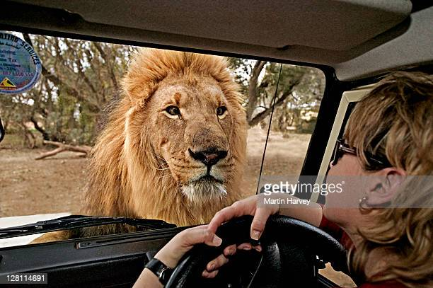 Male Lion, Panthera leo, looking through window of tourist vehicle. South Africa. (MR)