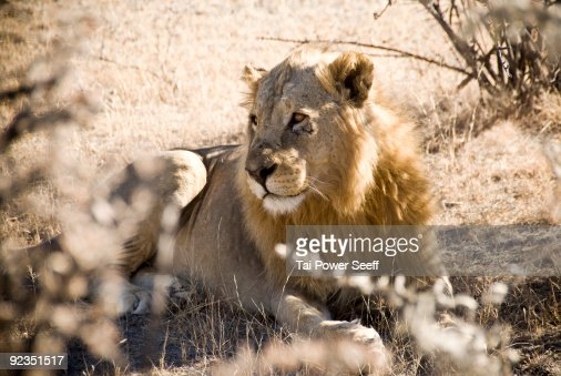 Male lion resting in the shade. : Stock Photo