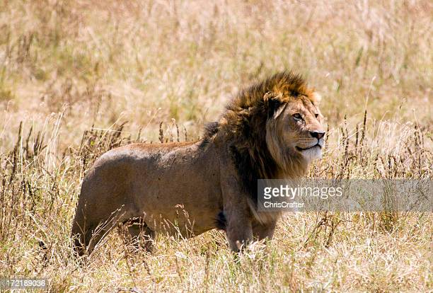 Male Lion side profile in summer grass