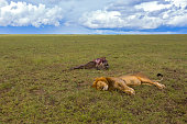 Male lion sleeping next to Wildebeest carcass, his prey in Serengeti Plains at Serengeti National Park in Tanzania, East Africa