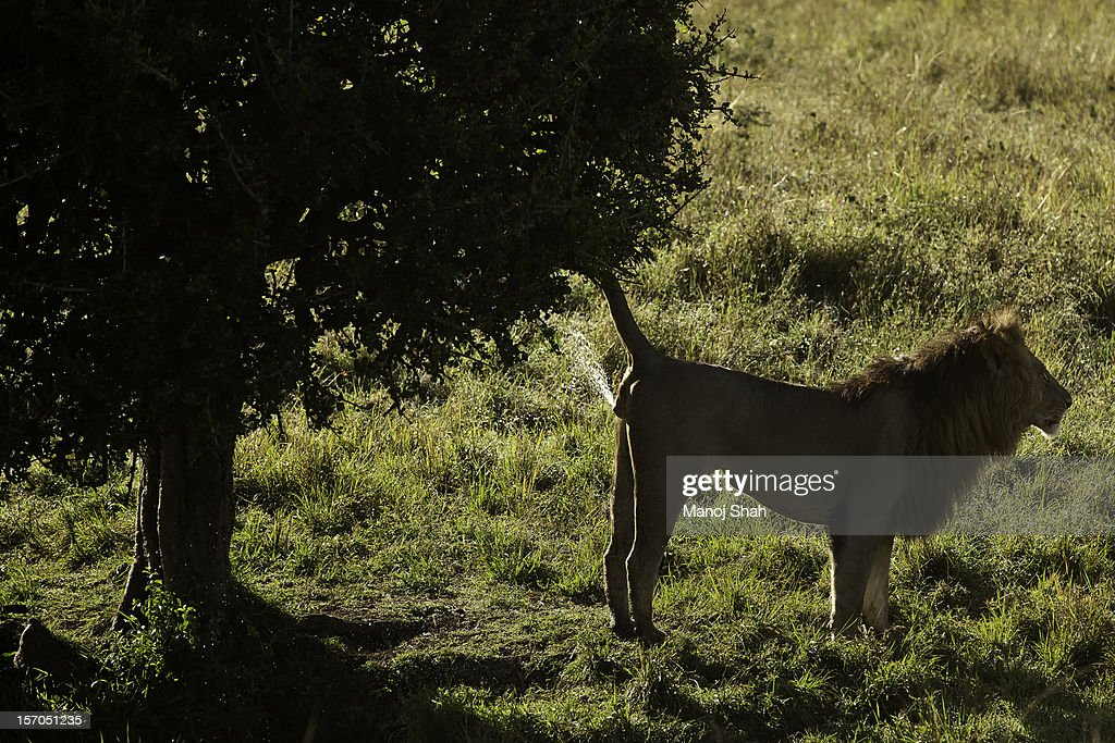 male lion spray marking tree : Stock Photo