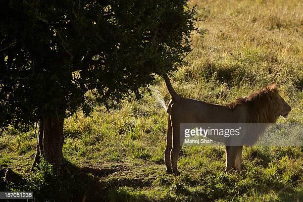 male lion spray marking tree