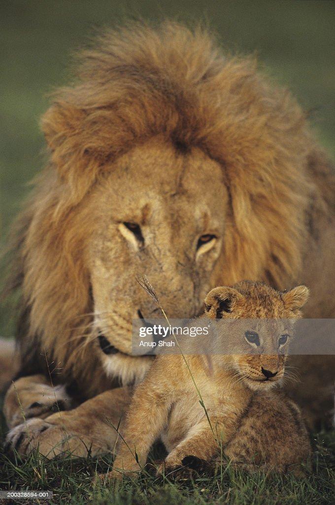 Male lion (Panthera leo) with cub, Masai Mara National Reserve, Kenya : Stock Photo