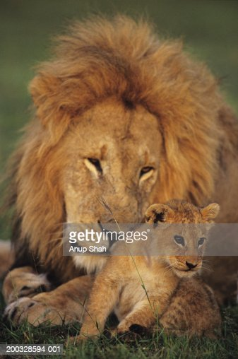Male lion (Panthera leo) with cub, Masai Mara National Reserve, Kenya