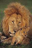 Male lion (Panthera leo) with cub, Masai Mara National Reserve, Kenya