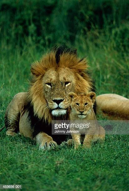 Male lion (Panthera leo) with cub, Tanzania