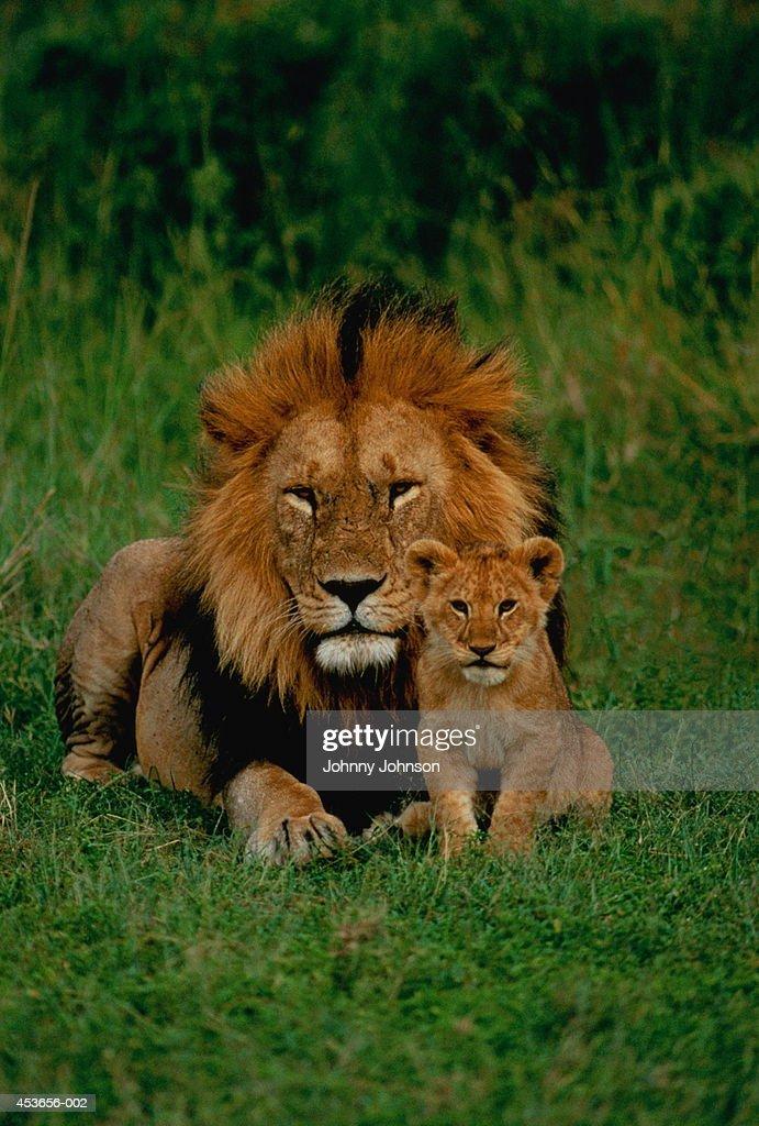 Male lion (Panthera leo) with cub, Tanzania : Stock Photo
