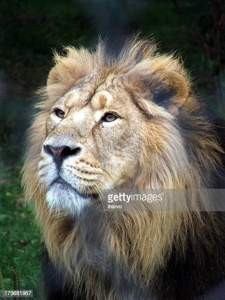 Male lion with dark mane standing on grass