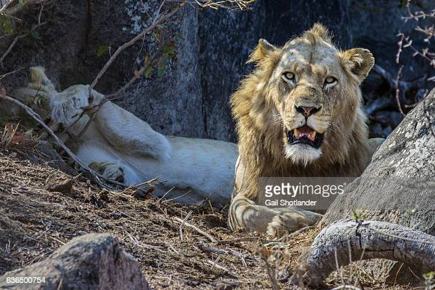 Male Lion with Female in Back
