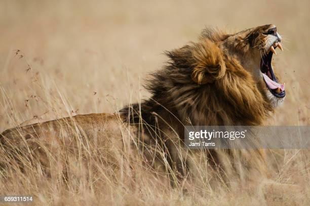 A male lion yawning.