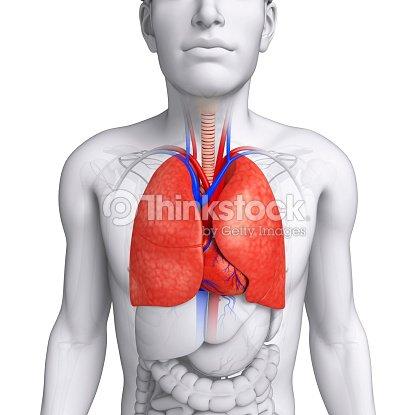 Männliche Lungen Anatomie Stock-Foto | Thinkstock