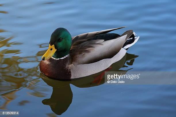 Male Mallard Duck Floating on Blue Water