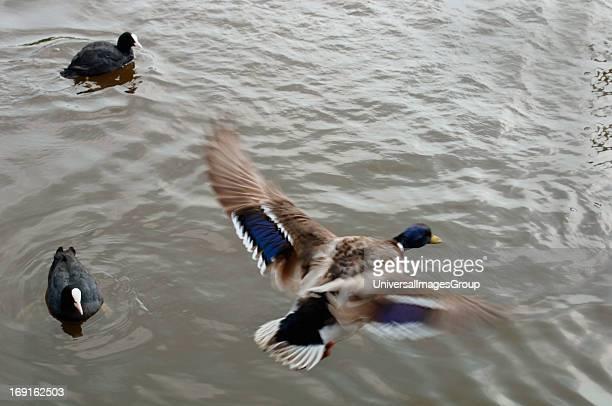 Male Mallard Duck Flying Onto A Freshwater Lake