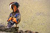 Male Mandarin Duck Preening