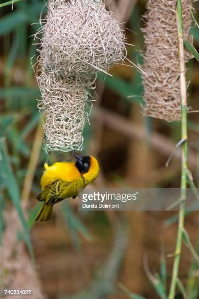 Male masked weaver (Ploceus velatus) building nest along Kunene River, Kaokoveld Conservation Area, Northwestern Namibia, Namibia