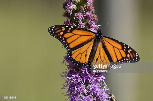 Male Monarch Butterfly, Danaus plexippus, on Blazing Star, Liatris sp, Michigan, USA. Host plants are milkweeds. Incredible long annual migration (some, 2500 miles). Michigan
