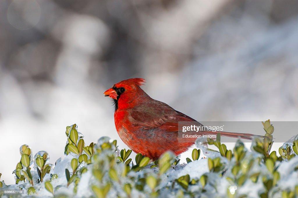 Male Northern Cardinal bird on a snowy bush The scientific name is Cardinalis cardinalis