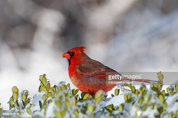 Male Northern Cardinal bird on a snowy bush The scientific name is Cardinalis cardinalis