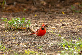 A male Northern Cardinal feasts on Oiled Black Sunflower Seed, a favorite of backyard birds.