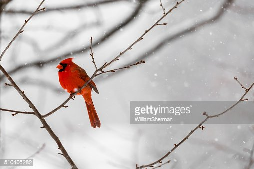 Male Northern Cardinal (Cardinalis cardinalis) In a Blizzard