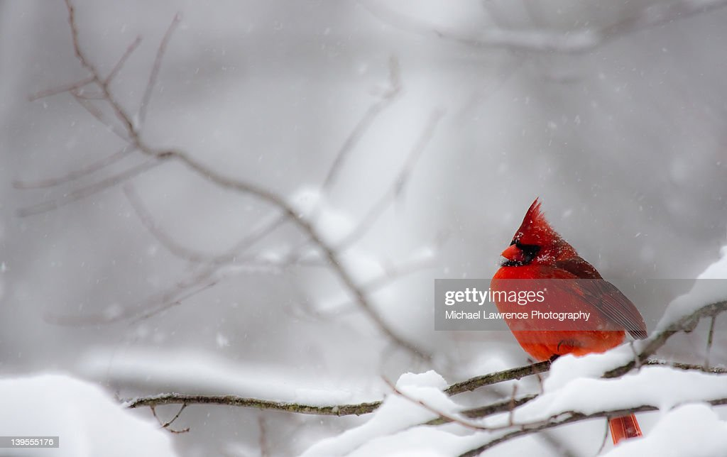 Male Northern Cardinal on tree branch in snow
