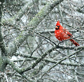 Male northern cardinal perched in tree during snowfall