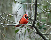 Male northern cardinal perched on tree branch