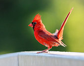 A male northern cardinal standing on a railing.