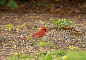 A male Northern Cardinal is known for its bright red feathers and black mask.  It is a common backyard visitor that frequents bird feeders.