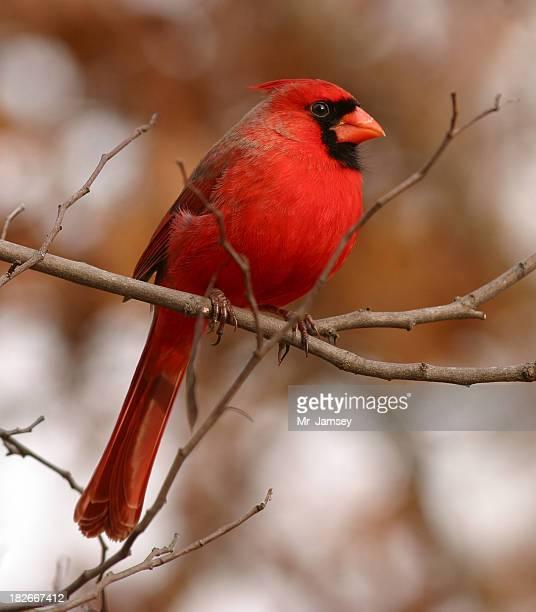 Mâle Cardinal rouge