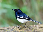 Male of Oriental Magpie-robin (Copsychus saularis) beautiful chubby black and white bird perching on the log expose over green blur gackground, fascinated nature