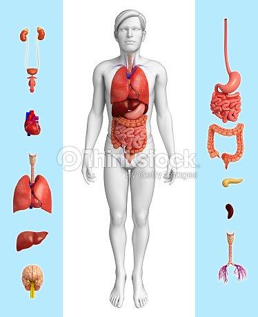 Männliche Organ Anatomie Stock-Foto | Thinkstock