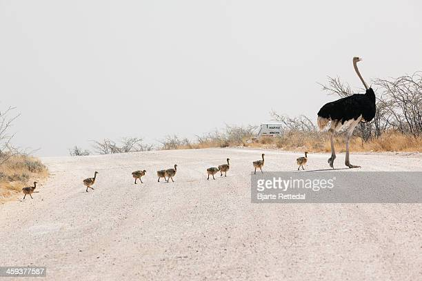 Male Ostrich leading chicks over road